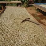 Kaffeebohen beim Trocknen